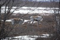 Rentiere kurz hinter Kiruna