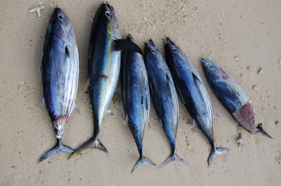 Frisch gefangene Thunfische