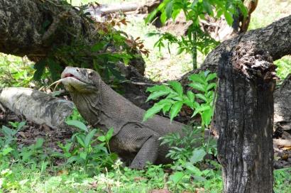 Komodo Nationalpark, Rinca, Flores