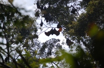 Flughunde, Dschungeltour, Pangandaran, Java