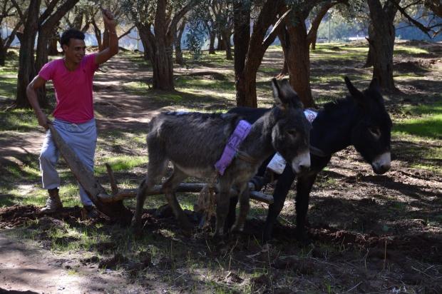 Touristenvorführung. Auf unserem Weg nach Ouzoud haben wir allerdings gesehen, dass man hier tatsächlich sein Feld teilweise noch mit Eseln bestellt und Esel auch weitergehend noch als Transportmittel dienen.