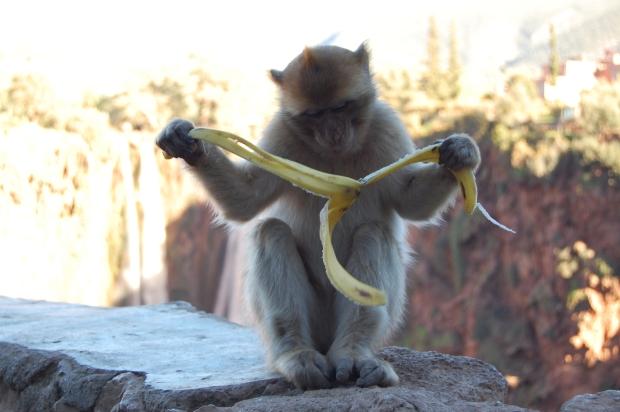 Viele kleine Affen betteln um Bananen und Nüsse
